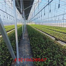 假的藍莓苗便宜藍莓苗圖片