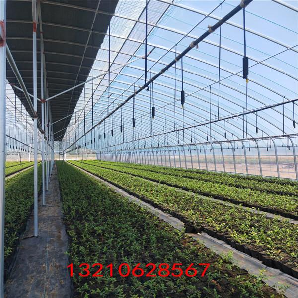 藍莓苗購買 占地藍莓苗