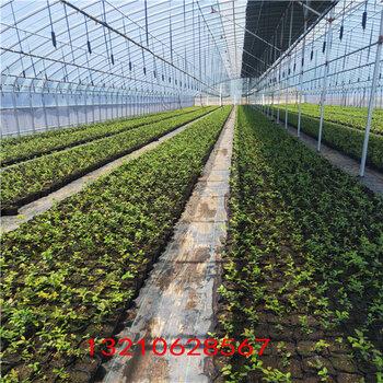 藍莓苗真假關于藍莓苗