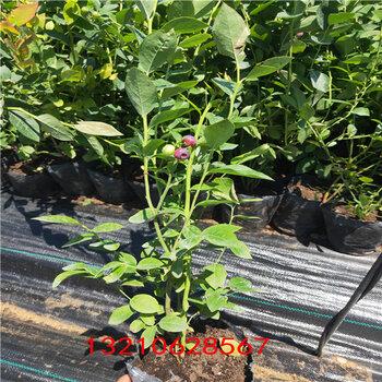 藍莓苗盆栽藍莓苗種植技術、
