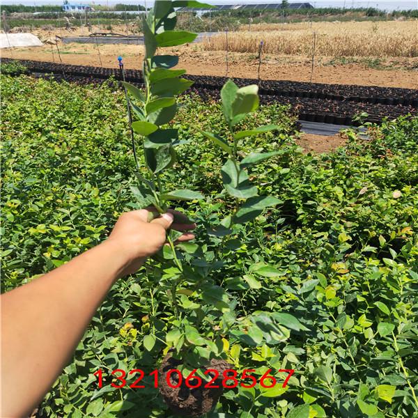 藍莓苗真假 關于藍莓苗