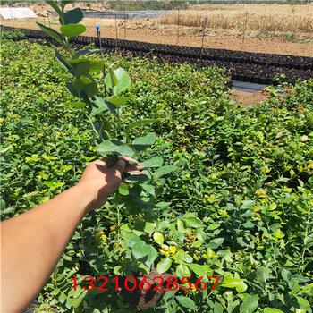 藍莓2年苗4年藍莓樹