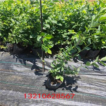 藍莓五年苗地栽藍莓苗
