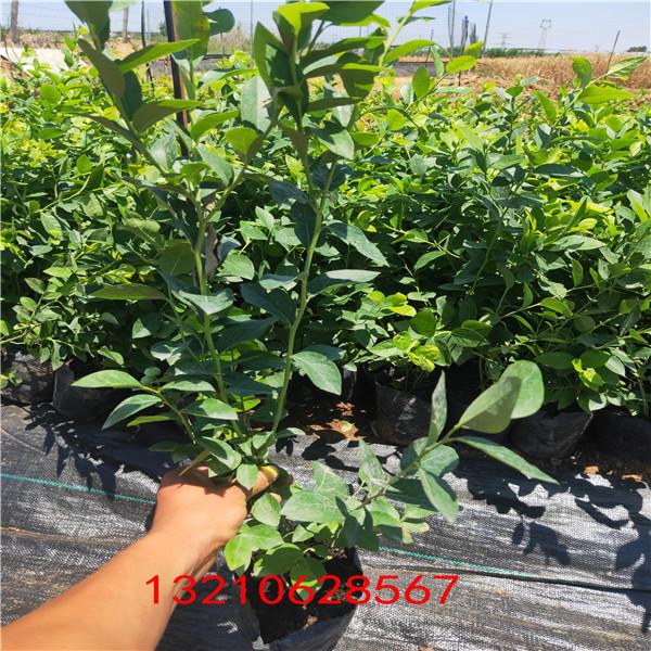 藍莓苗圖片 藍莓苗新品種
