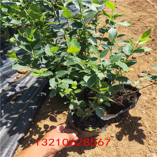 藍莓苗基地 綠寶石藍莓苗