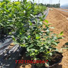 盆栽藍莓苗關于藍莓苗