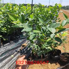 藍莓組培苗藍莓苗3年苗