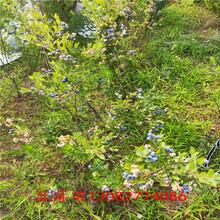 藍莓4年苗藍莓苗2年苗圖片