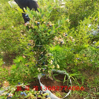 藍莓真假苗藍莓苗出售