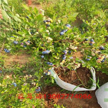 藍莓苗的根藍莓幾年結果
