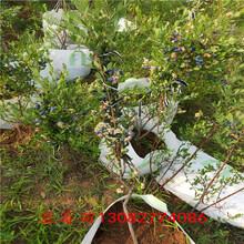 萊克西藍莓苗5年藍莓苗