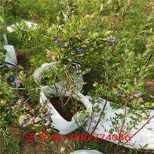 大連藍莓苗5年藍莓苗圖片