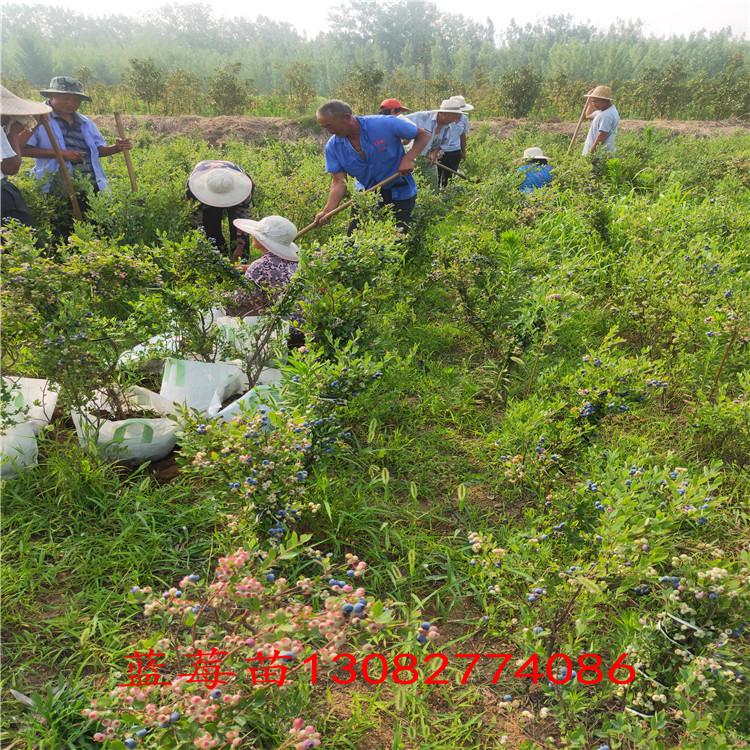 藍莓苗假的 藍莓幾年結果