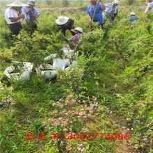 藍莓苗澆水一棵藍莓苗結果嗎圖片