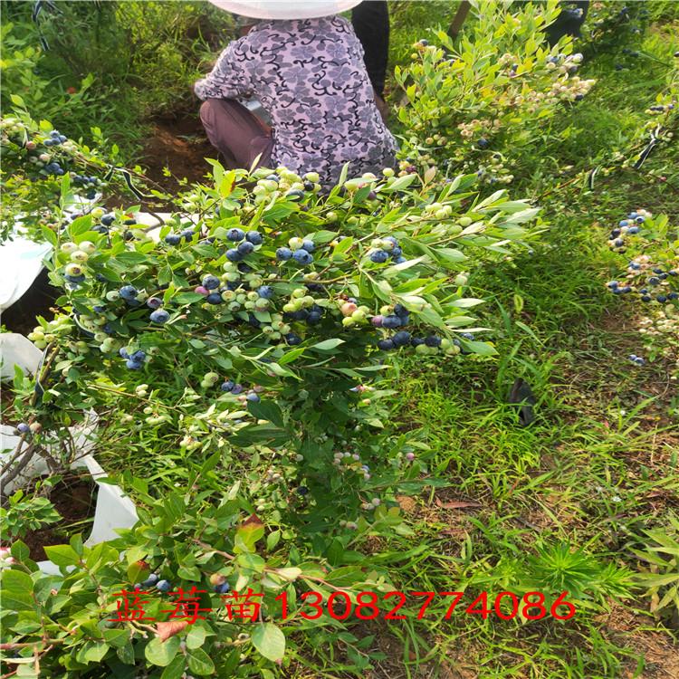 藍莓苗批發 藍莓那個品種甜