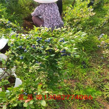 藍莓緩苗薄霧藍莓苗