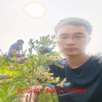 3年藍莓苗藍莓苗新品種