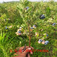 藍莓苗淘寶珠寶藍莓苗圖片