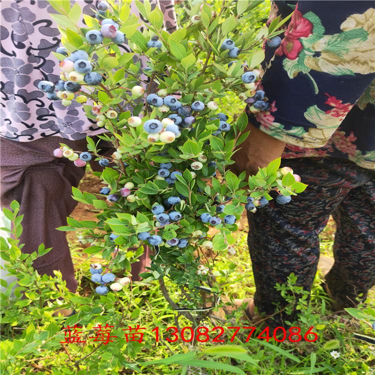 藍莓苗修剪藍莓苗種植技術、