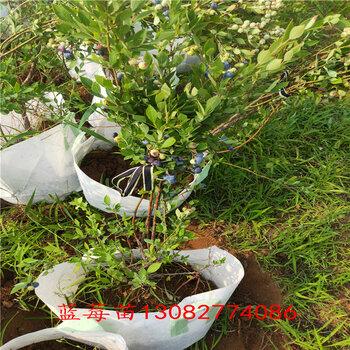 藍莓苗真假藍莓苗報價