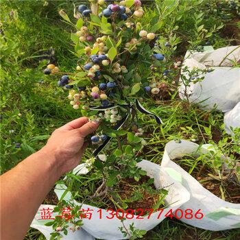 買藍莓苗綠寶石藍莓苗