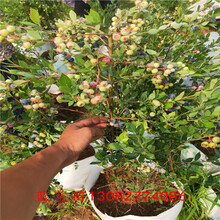 藍莓苗基地珠寶藍莓苗