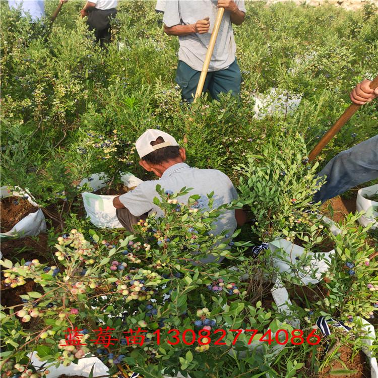 藍莓真假苗 藍莓苗出售