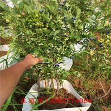 藍莓苗藍莓苗2年苗圖片