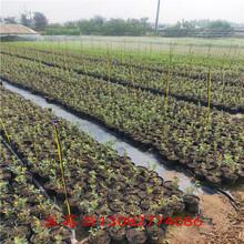 大連藍莓苗地栽藍莓苗圖片