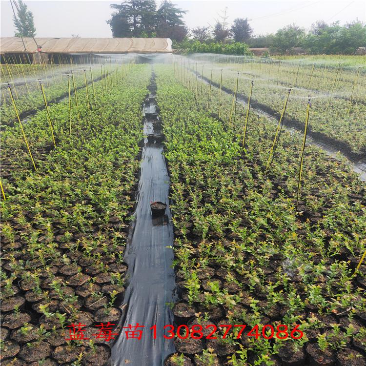 藍莓2年苗 4年藍莓樹