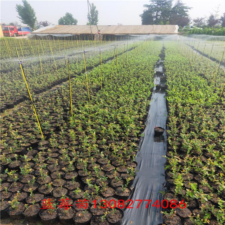 買藍莓苗 綠寶石藍莓苗