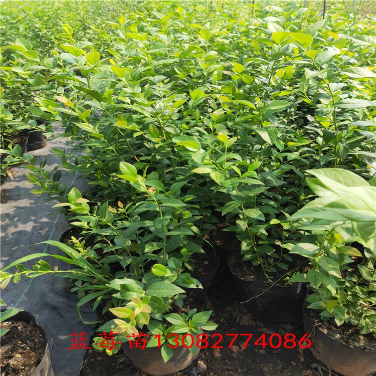 3年藍莓苗 藍莓苗新品種