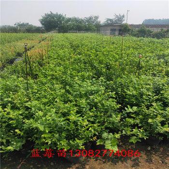 藍莓苗購買占地藍莓苗