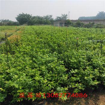 藍莓苗澆水藍莓苗新品種