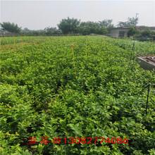 藍莓苗分辨藍莓苗種植技術、圖片