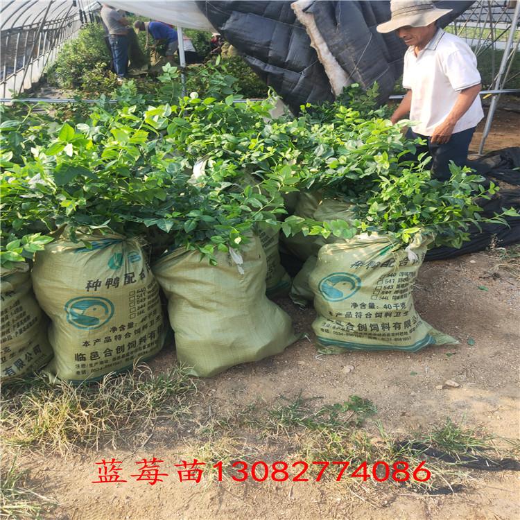 青島藍莓苗 藍莓苗2年苗