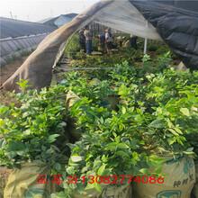 美國藍莓苗5年藍莓苗圖片