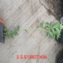 瑞卡藍莓苗便宜藍莓苗圖片