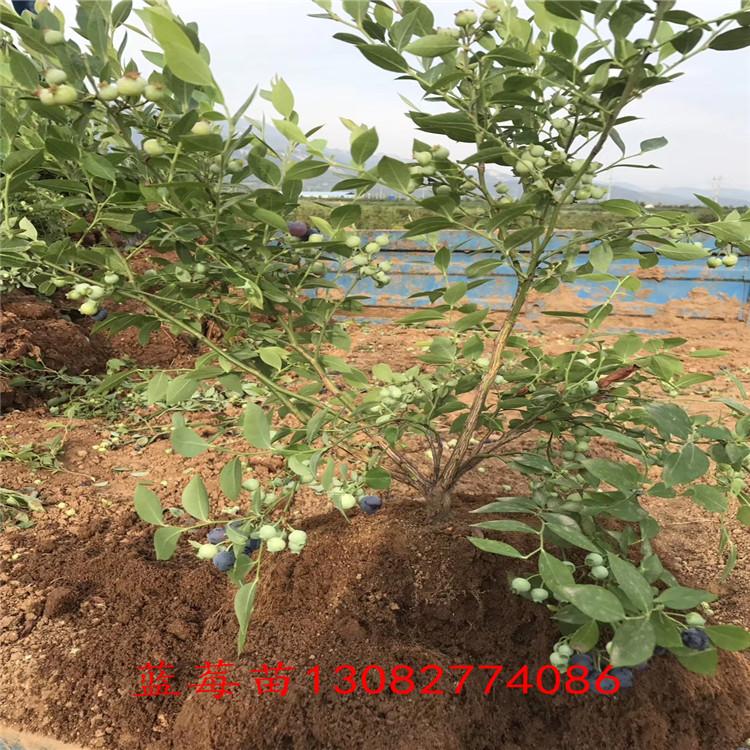 藍莓五年苗 地栽藍莓苗