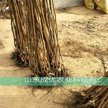 日本甜柿子树苗价格新品种柿子图片