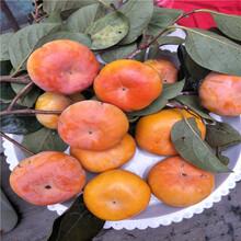 陕西富平柿子树苗基地出售柿子树图片