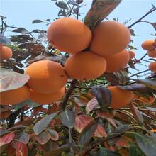 柿子树苗批发新品种柿子图片