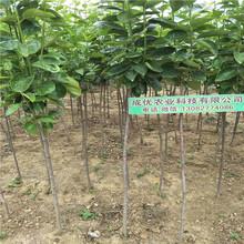 大规格柿子树苗圃贵州柿子苗图片