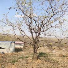 柿子树树苗价格新品种柿子图片