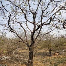 树柿子树苗柿子树基地图片