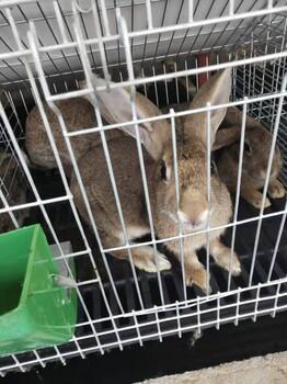 洛阳肉兔比利时兔笼养好还是散养好