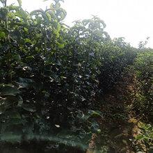 4公分梨树苗批发梨树苗价格图片
