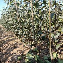 3公分梨树苗新品种梨树苗价格批发价图片