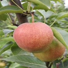 2公分金果梨树苗嫁接梨树苗价格图片