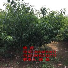山東黃桃樹苗、山東黑桃樹苗新品種、山東黑桃樹苗價格多少圖片